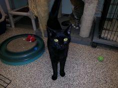 Cobb County Humane Society Cats