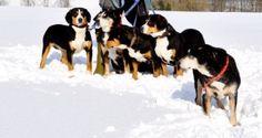 Generationenfoto Cow, Animals, Entlebucher Mountain Dog, Pet Dogs, Animales, Animaux, Cattle, Animal, Animais