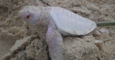 Alby, the tiny albino turtle, is an extremely rare find