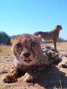 Cheetah orphan/rescue via fb.com/laurie.marker of Cheetah Conservation Fund.
