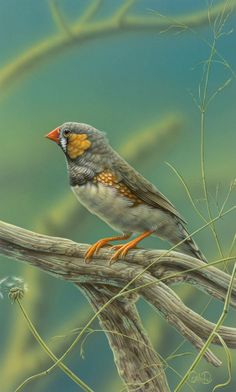 Zebra Finch by Christopher Pope #art #painting