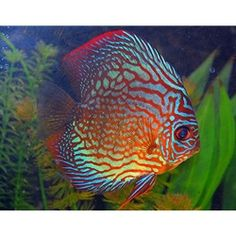 Red Turquoise Discus Fish from AZ Gardens