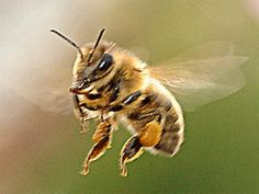 Another bee-harming pesticide? No thanks. | Sign the letter to EPA Administrator Jackson to protect honey bees before it is too late by keeping the systemic pesticide, sulfoxaflor off the market.  PLEASE SIGN!