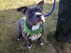 TO BE DESTROYED 12/5/13 Brooklyn Center -P  My name is MAXX. My Animal ID # is A0985659. I am a male gray and white pit bull mix. The shelter thinks I am about 5 YEARS old.  I came in the shelter as a STRAY on 11/22/2013 from NY 10310, owner surrender reason stated was STRAY.  https://www.facebook.com/photo.php?fbid=717692064910342&set=a.611290788883804.1073741851.152876678058553&type=3&theater