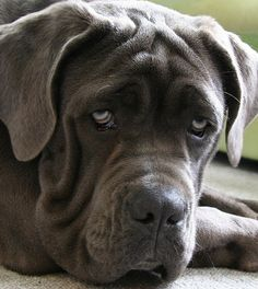 Mastiff Dogs. Would love to have a huge male English Mastiff too.. really I would be happy with a house full of dogs