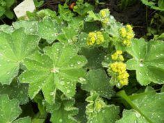 Alchémille, Alchemilla vulgaris ROSACEES Mai 2014 Hémostatique, vulnéraire, progestatif Mai, Gardens, Ceiling Rose, Earth, Plant