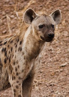Looking for breakfast--Spotted Hyena (Crocuta crocuta)