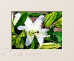 """Kunstdruck Aquarell """"Weiße Lilie""""   von Find´was ♥ Altes ♥ Schönes ♥ Gemaltes auf DaWanda.com"""