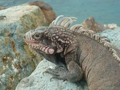 St. Thomas iguanas! I do not recommend these creatures for pets...althought they are beautifully colored!