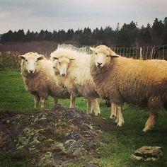 Baahurrah Farm Roving 2015 Shear. Coopworth by BaaHurrahFarms
