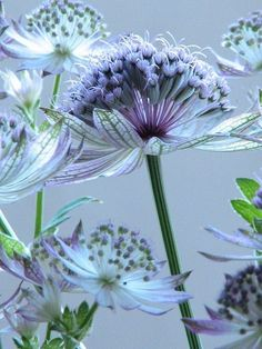 Astrantia. I will find out if I can grow this here. So pretty!