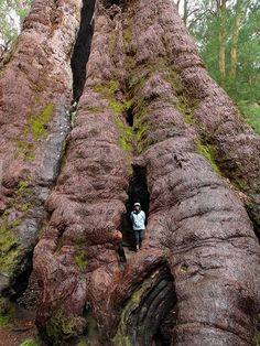 Eucalyptus jacksonii - The red tingle tree. WA, Australia. Photo by Michael Schwab.