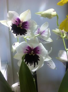 Miltonia Pansies, Orchids, Waterfall, Black And White, Gardens, Flowers, Black N White, Black White, Waterfalls