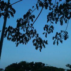 The folded leaves of the rain tree