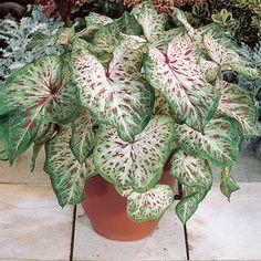 Caladium Gingerland-www.americanmeadows.com
