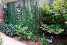 Creeping Fig Vine...nice way to dress up a boring wall along the side of my house.