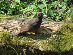 Zwarte specht, Black Woodpecker, Dryocopus martius