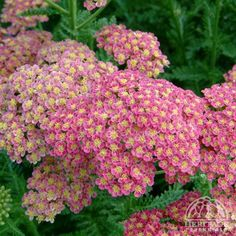 Plant Profile for Achillea millefolium 'Heidi' - Yarrow Perennial.  I love this yarrow also!  It is one that may become leggy.  trim back after bloom.  this one spreads easily, but then I can share it!  Must have!
