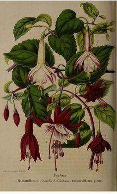 Fuchsia hort. La Belgique horticole, journal des jardins et des vergers, vol.7- t.47 (1857)