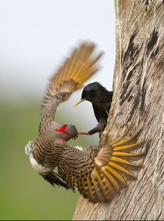 Bird Fight ... What an amazing shot of a Starling and a Northern Flicker