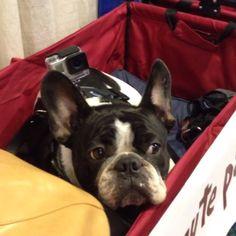 Dexter, the French Bulldog, Frenchy @dexterfrench Instagram photos | Websta (Webstagram)