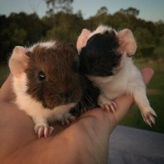 Image result for guinea pig babies just born