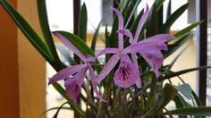 Samaris Orchids