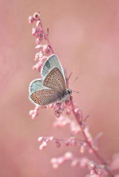 light blue butterfly on pale pink flower