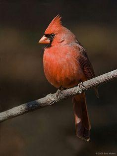 Male Eastern Cardinal