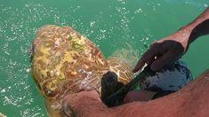 Sea turtle rescue in Islamorada, Florida Islamorada Florida, Animal Rescue, Turtle, Fishing, Sea, Nature, People, Youtube, Animaux