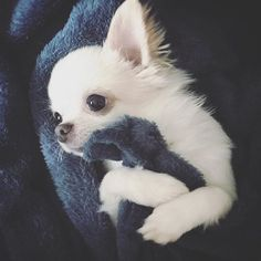Effective Potty Training Chihuahua Consistency Is Key Ideas. Brilliant Potty Training Chihuahua Consistency Is Key Ideas. Kittens And Puppies, Cute Dogs And Puppies, Pet Dogs, Doggies, Chihuahua Love, Chihuahua Puppies, White Chihuahua, Cute Baby Animals, Funny Animals
