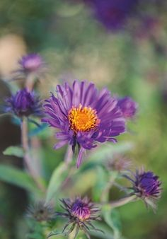 24 key plants from the Oudolf Field   Gardens Illustrated