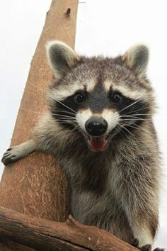 Part scary, part cute, yes this raccoon has won our hearts.
