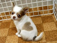 The famous little Chihuahua born with a heart shape on her side.