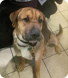 Scottsdale, AZ - German Shepherd Dog/Shar Pei Mix. Meet Percy, a dog for adoption. http://www.adoptapet.com/pet/12461106-scottsdale-arizona-german-shepherd-dog-mix