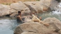 Riverbank Zoo, Brown Bear, Animals, Animales, Animaux, Animal, Animais