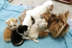 This Yorkshire terrier is Bridget, she is taking care of a litter of five kitties at the Humane Society of Utah, after her own puppies didn't surive. What a wonderful surrogate mom.