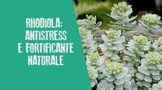 Rhodiola: antistress e fortificante naturale