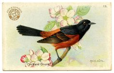 Another Lovely Bird Advertising Card - Oriole - The Graphics Fairy