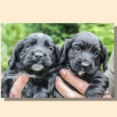 Working Cocker Spaniel Puppies | Indago Dog Photography