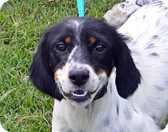 Searcy, AR - English Setter Mix. Meet Miracle, a dog for adoption. http://www.adoptapet.com/pet/11572931-searcy-arkansas-english-setter-mix