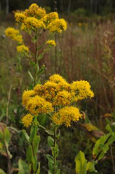 Stiff Goldenrod (Solidago rigida). Dry to moist prairies and open woodlands. 3-5 ft. tall. Gold flowers in Early Fall. Full-Sun. Staple in prairie gardens. great pollen source. Attracts bees & butterflies. Average to infertile, well-draining soils. Rhizome spreading and self-seeding. Good with joe-pye-weed and coneflowers. Lot's of varieties.
