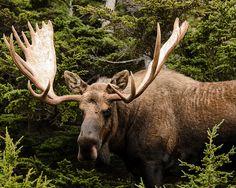 This is a Bull Moose (male) The moose (North America) or Eurasian elk (Europe)… Moose Pics, Moose Pictures, Moose Deer, Moose Hunting, Bull Moose, Moose Art, Water Deer, Deer Family, Wild Creatures