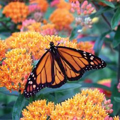 butterflyweed 10 Great Plants for a Butterfly Garden