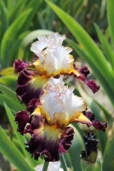 2 Tricolor Iris Bulbs Roots Perennial Flower Home Garden Balcony Bonsai Decor Exotic Plants, Exotic Flowers, Amazing Flowers, Colorful Flowers, Beautiful Flowers, Tropical Flowers, Purple Flowers, Iris Garden, Love Garden