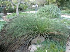 Ornamental grasses south africa and aliens on pinterest