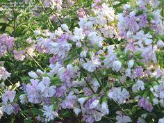 Double Pink Soapwort, Bouncing Bet, Goodbye Summer 'Rosea Plena' (Saponaria officinalis)