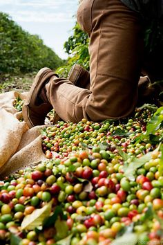 work in the coffee harvest