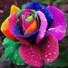 Roses #flowers learn how 2 #grow #roses http://www.growplants.org/growing/hybrid-tea-rose Buy Rainbow Rose Seeds