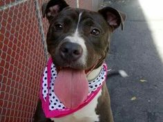 TO BE DETROYED - 09/07/14 Manhattan Center -P  My name is NEO. My Animal ID # is A1011893. I am a spayed female br brindle and white pit bull mix. The shelter thinks I am about 1 YEAR 1 MONTH old.  I came in the shelter as a STRAY on 08/26/2014 from NY 10472, owner surrender reason stated was STRAY. https://m.facebook.com/photo.php?fbid=862722313740649&id=152876678058553&set=a.611290788883804.1073741851.152876678058553&source=46&ref=stream